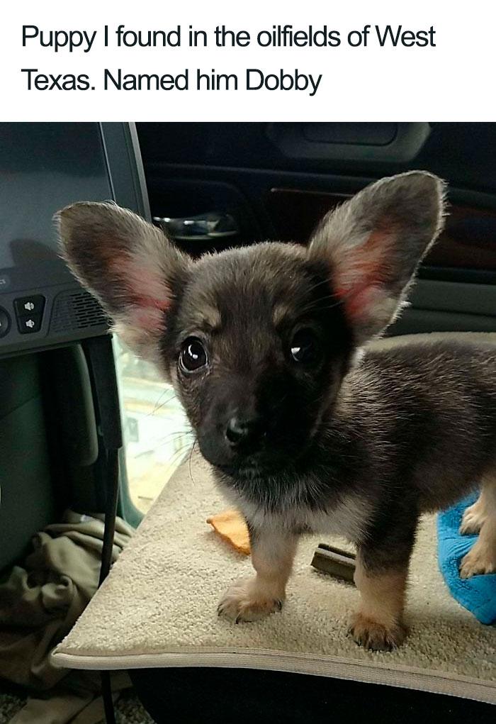 dobby dog with big ears