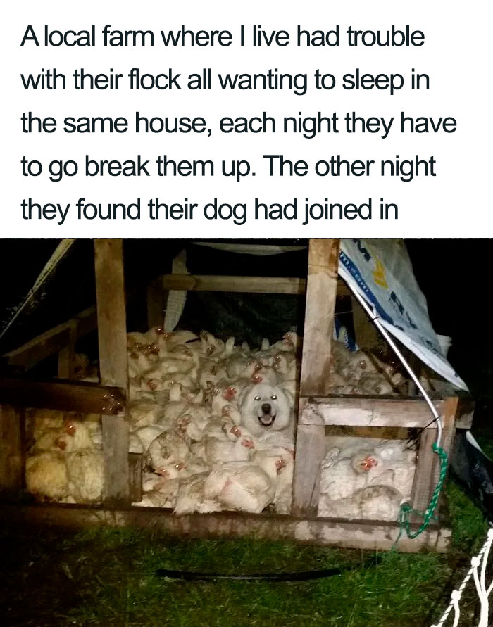 dog sleeping in chicken coop