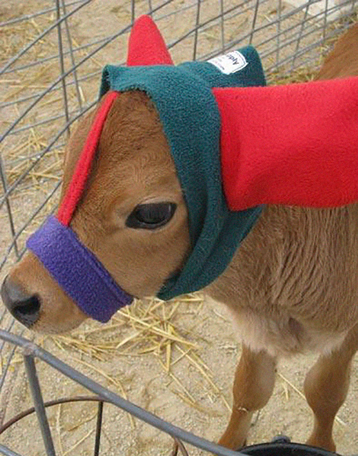 It Turns Out That Earmuffs For Calves Are A Real Thing And