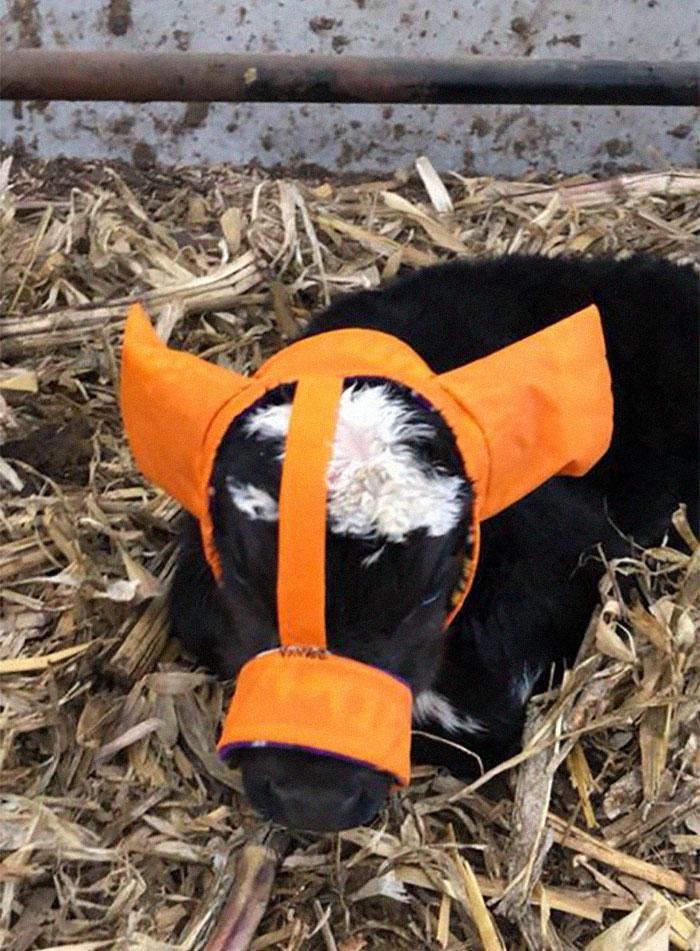 earmuffs for calves