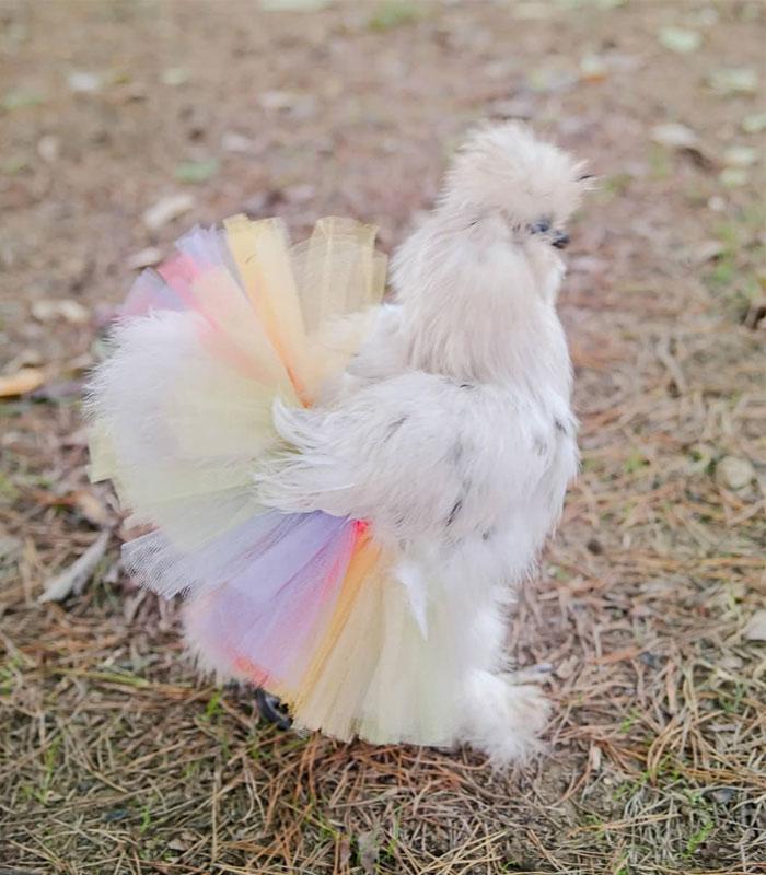 fluffy chicken in colorful tutu