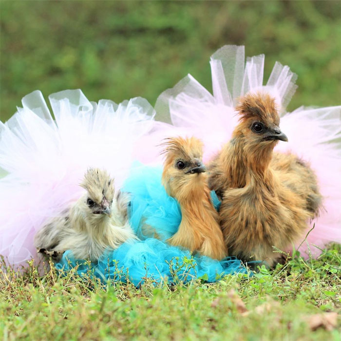 fowls in tutus
