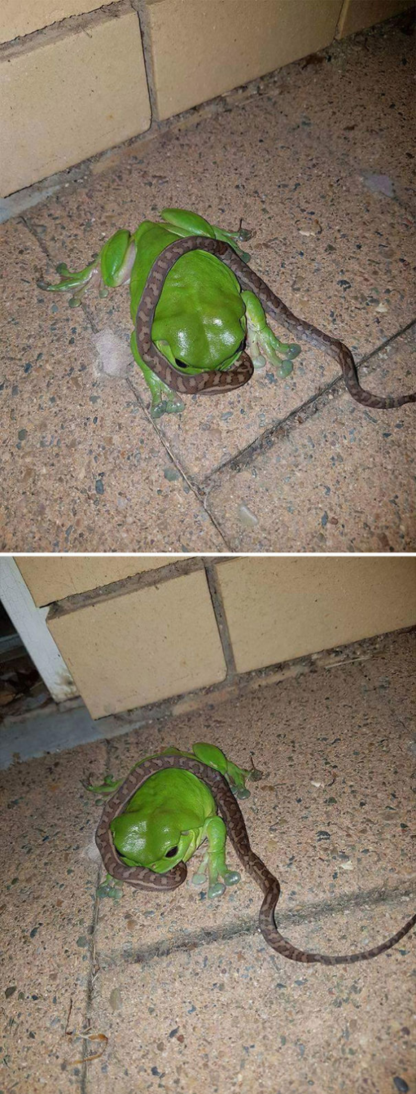 frog eating a snake scary animals in Australia