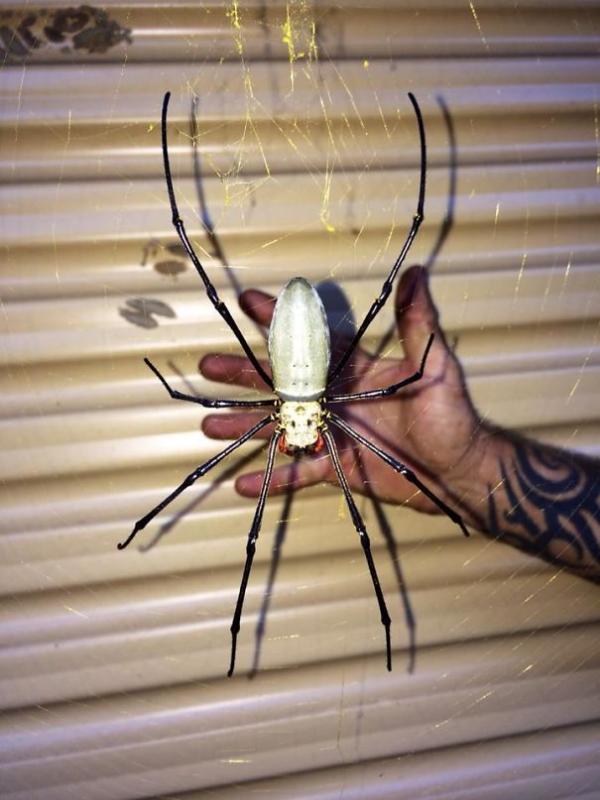 huge spider scary animals in Australia