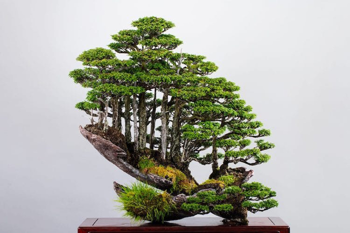 masahiko kimura hinoki forest bonsai