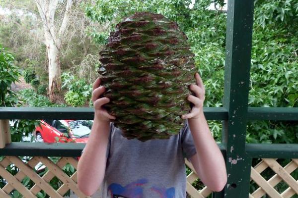 pine corn that kills when it falls scary animals in Australia
