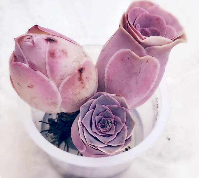 rare pink rose succulents etsy