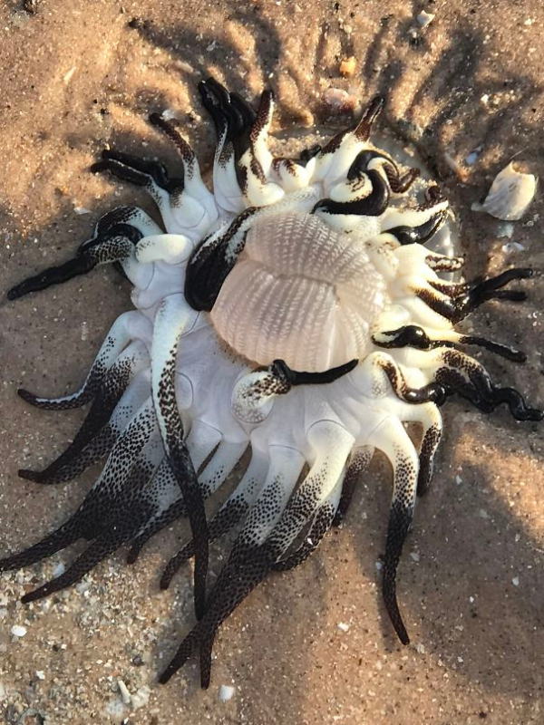 stinging anemone found in a beach scary animals in Australia