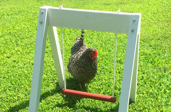 the chicken network amish made chicken swing set