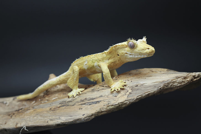 tina kraus crepe paper objects crested gecko