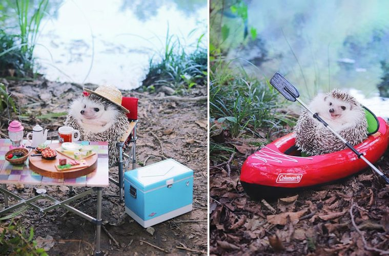 Azuki Pygmy Hedgehog