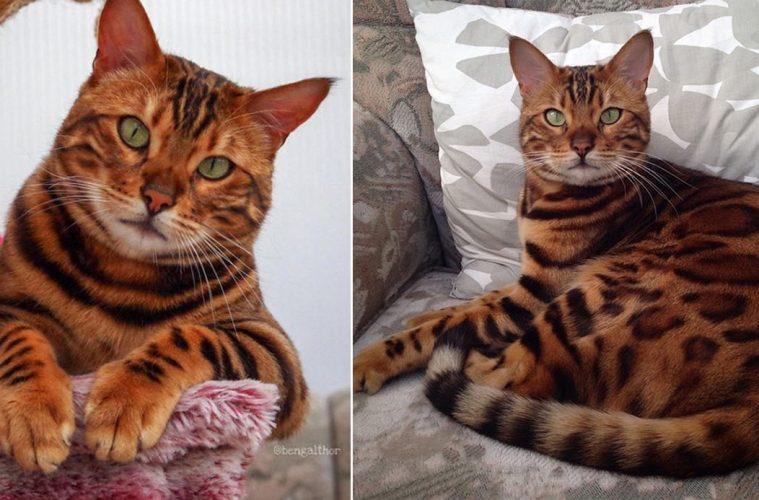 Bengal Cat Thor