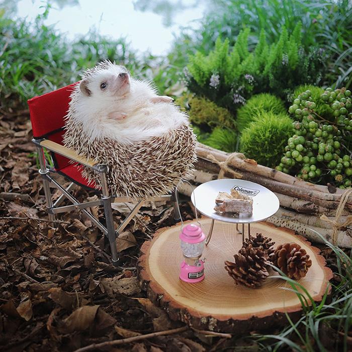 azuki camping hedgehog chilling