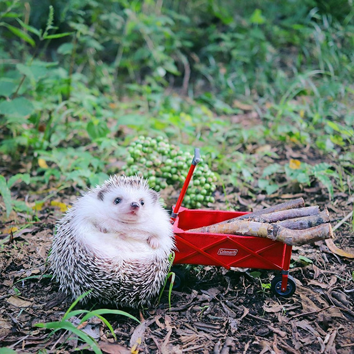 azuki camping hedgehog wagon