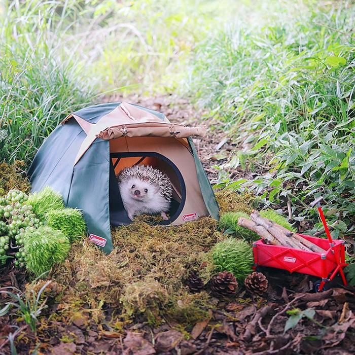 azuki camping hedgehog