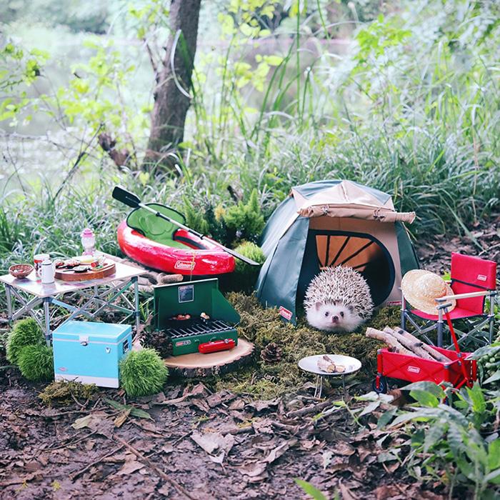 azuki hedgehog goes camping