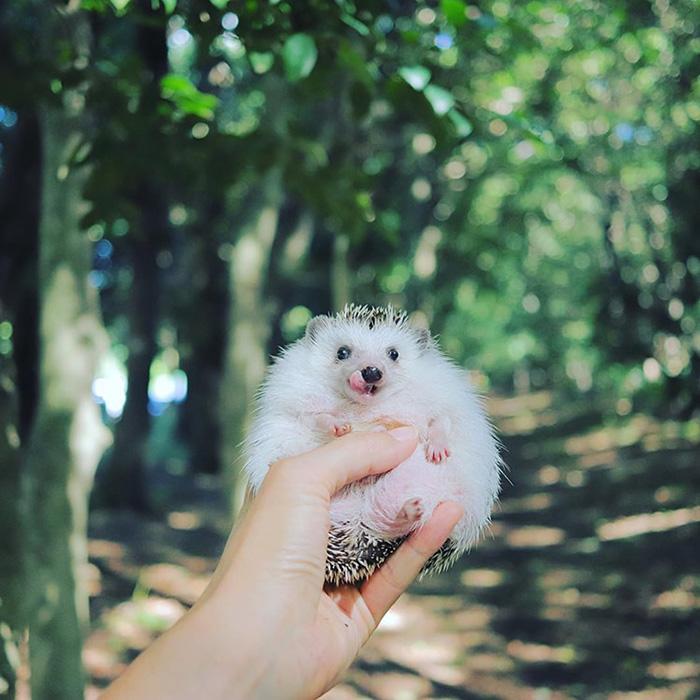 azuki japanese pygmy hedgehog
