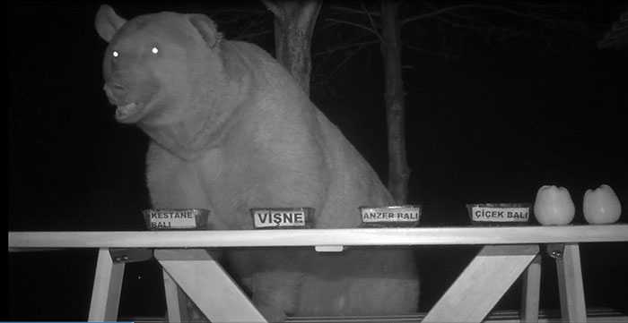 bear trap camera honey tasters