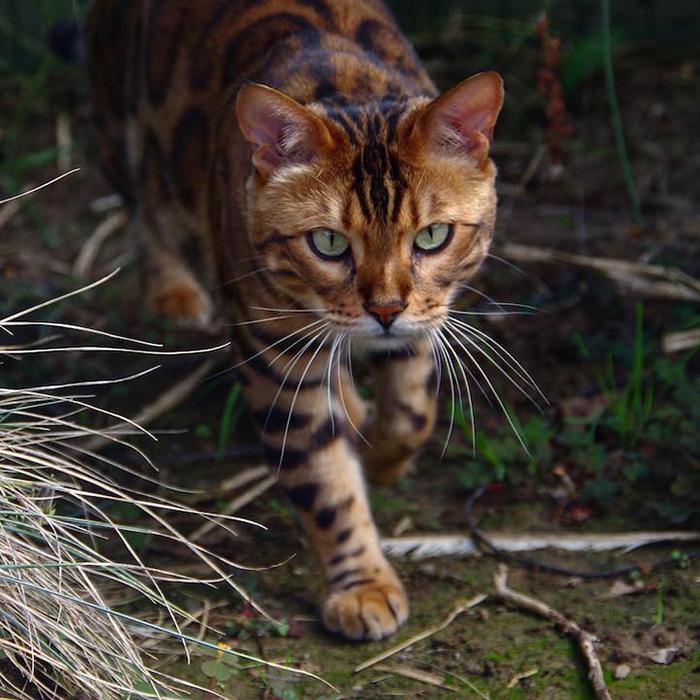 bengal cat named thor