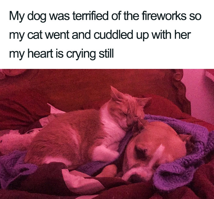 cat comforting dog afraid of fireworks wholesome cat posts