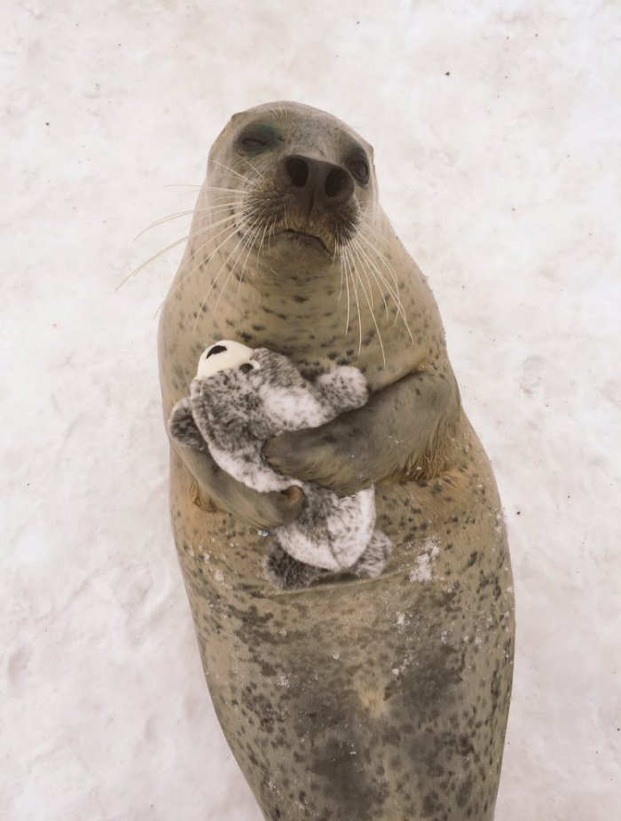 earless seal hugs stuffed toy happily