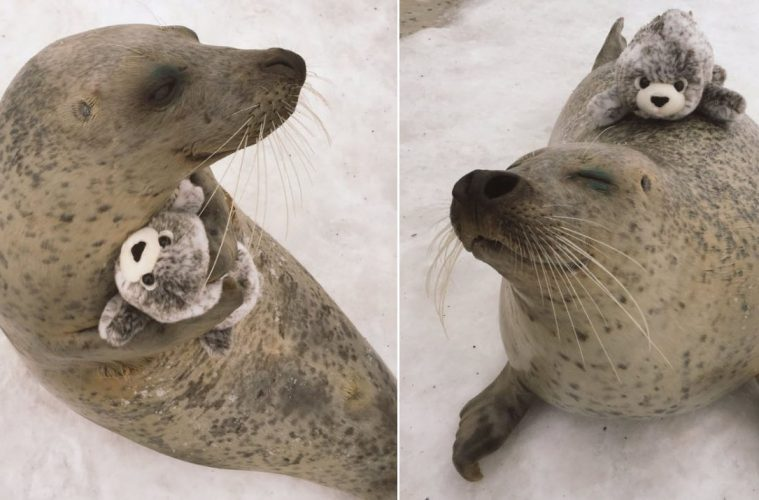 earless seal with toy