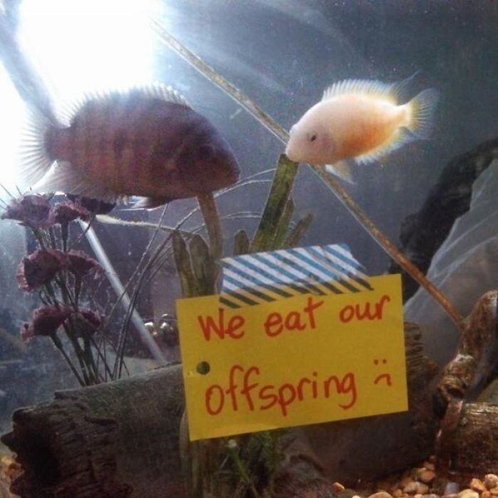 hilarious fishes eating offspring