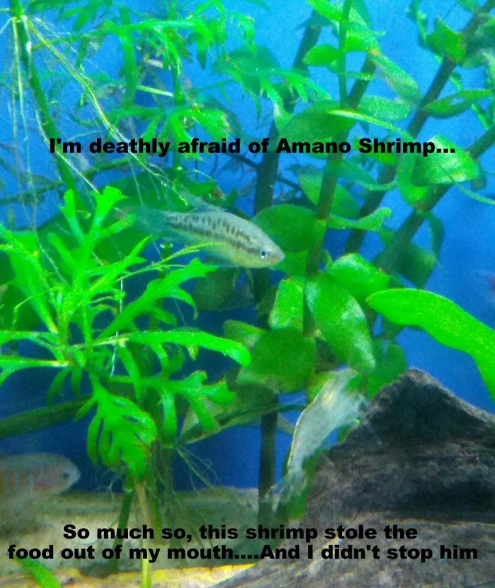 hilarious fishes fish afraid of amano shrimp