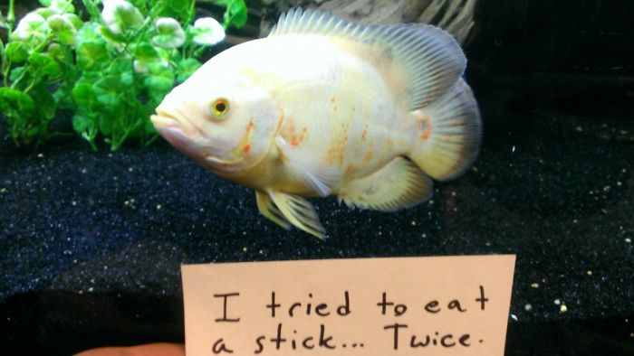 hilarious fishes fish eating sticks