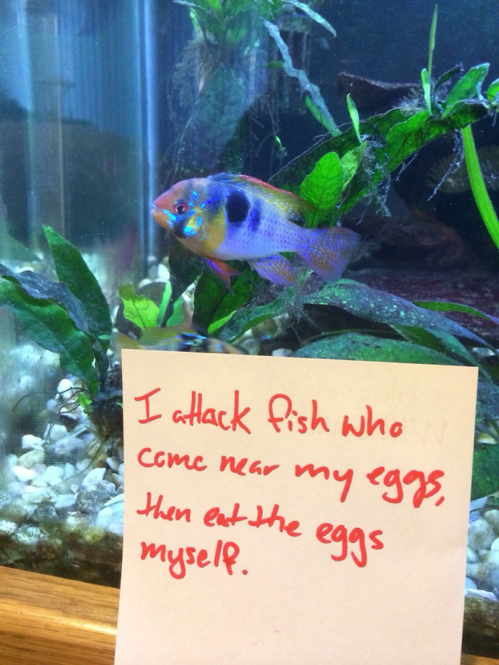 hilarious fishes fish eats own eggs
