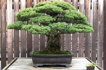 hiroshima bonsai tree