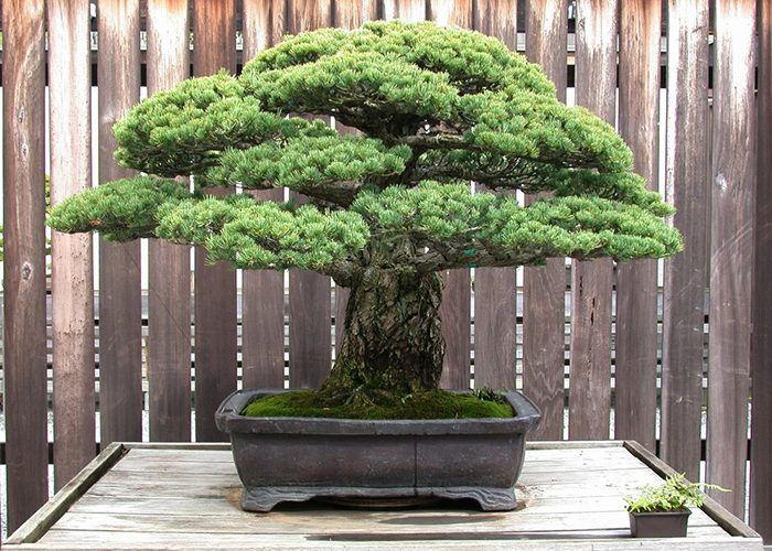 hiroshima bonsai tree
