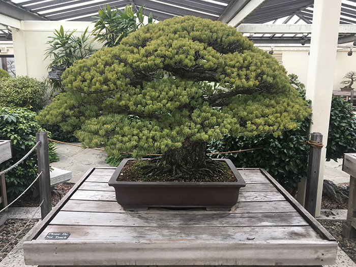 hiroshima bonsai tree white pine
