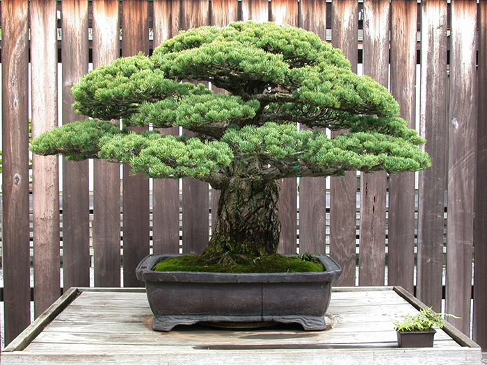 Extraordinary 394 Year Old Bonsai Tree Survived The Hiroshima Bombings And Continues To Grow To This Day