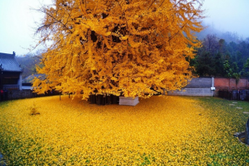 huge gingko tree leaves