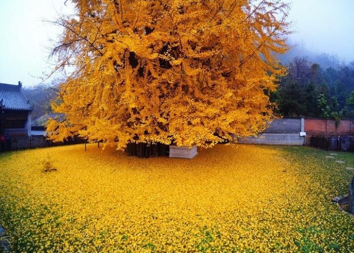 huge gingko tree leaves