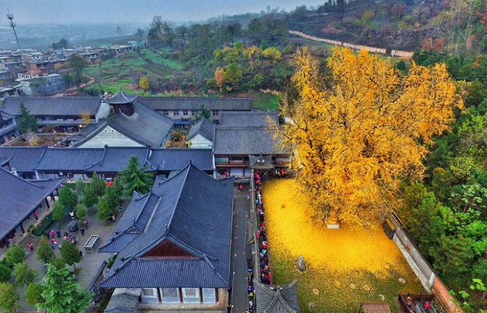 huge gingko tree leaves radiant gold