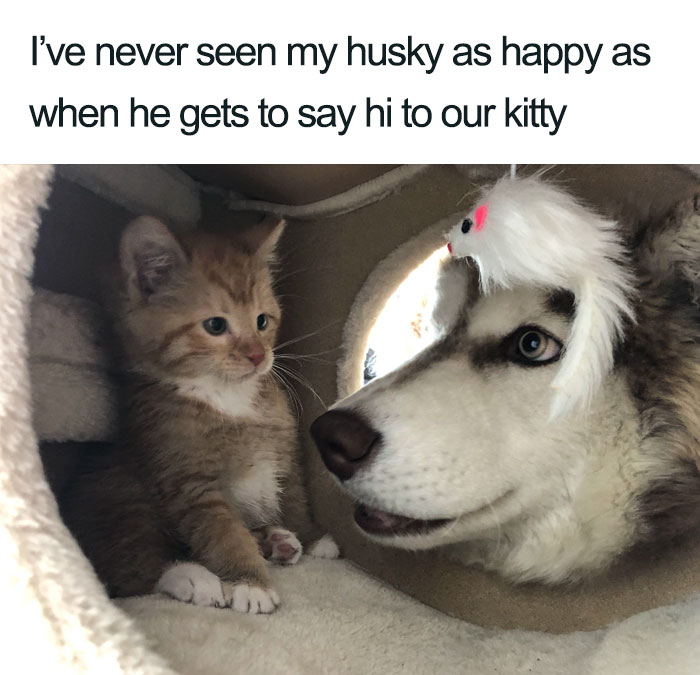 husky happy with kitty wholesome cat posts