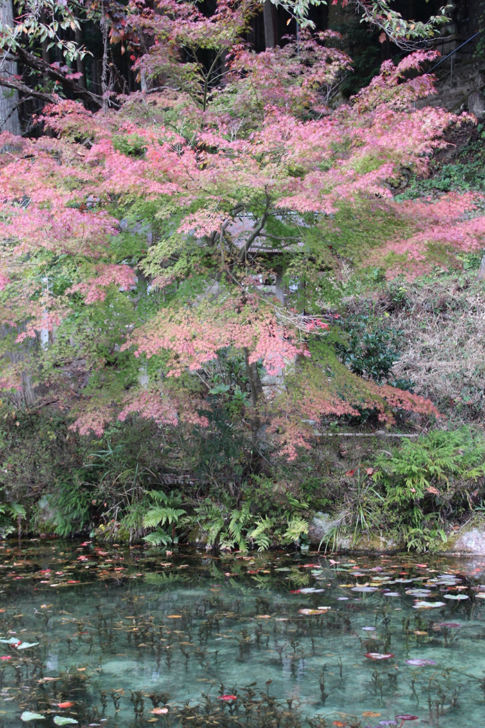 monets pond japan japanese maples trees