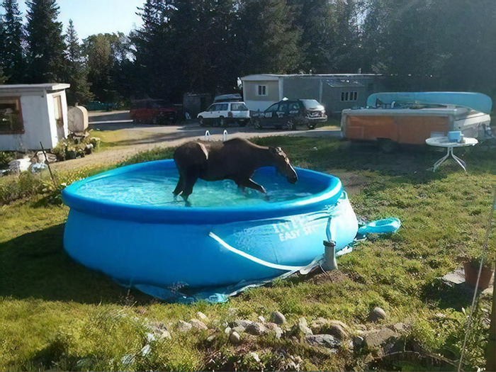 moose in pool funny meanwhile in canada pictures
