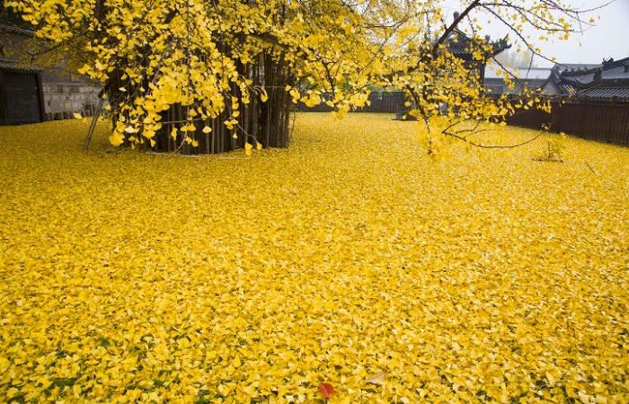 ocean of gold gingko tree leaves