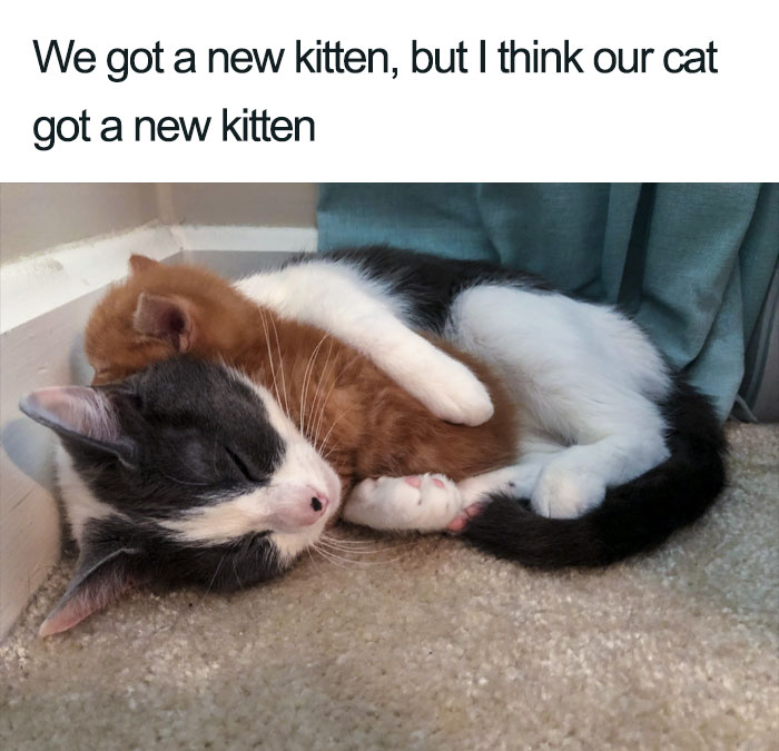 our cat got a new kitten wholesome cat posts