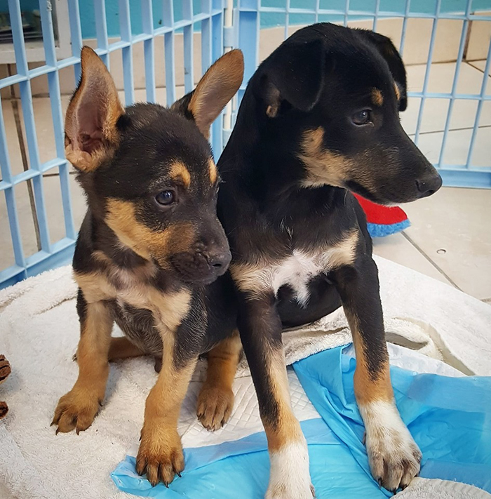 potcake place rescue puppies for adoption