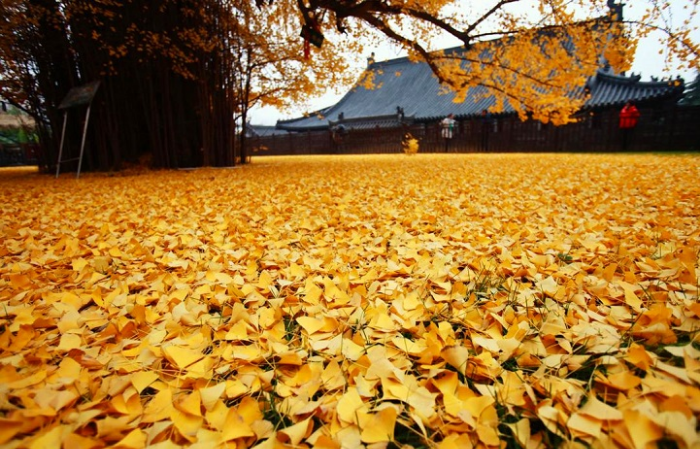 radiant gold gingko tree leaves