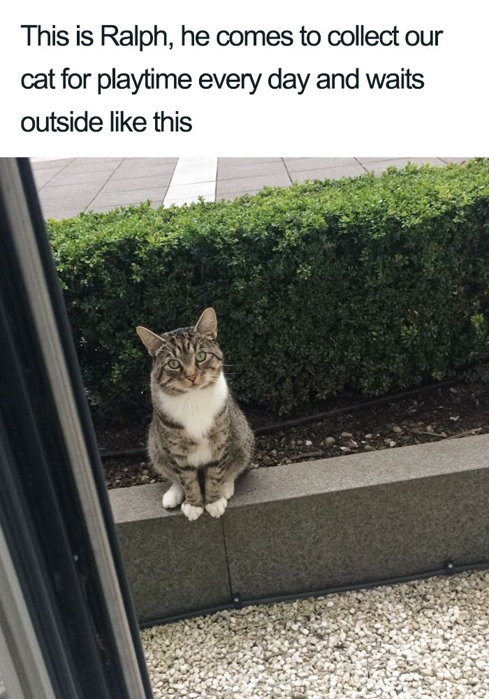 ralph collecting neighbor for playtime wholesome cat posts