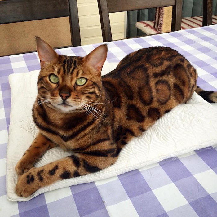 thor the bengal cat chilling