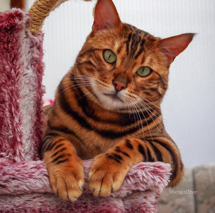thor the bengal cat green eyes