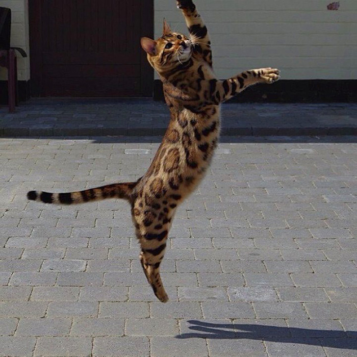 thor the bengal cat jumping