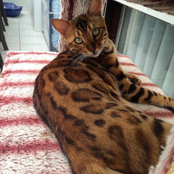 thor the bengal cat leopard spots