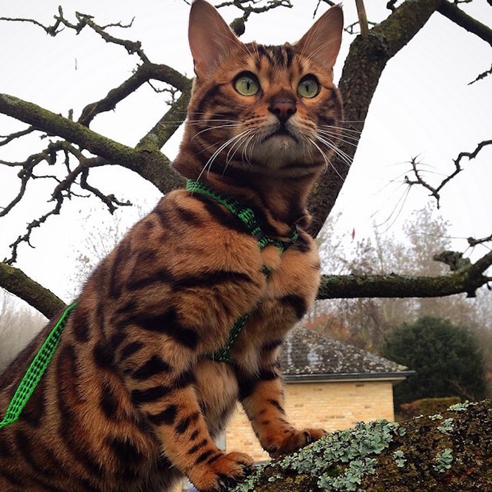 thor the bengal cat on tree